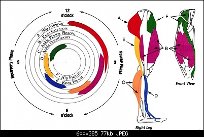 Which muscles are really used during the pedal stroke?